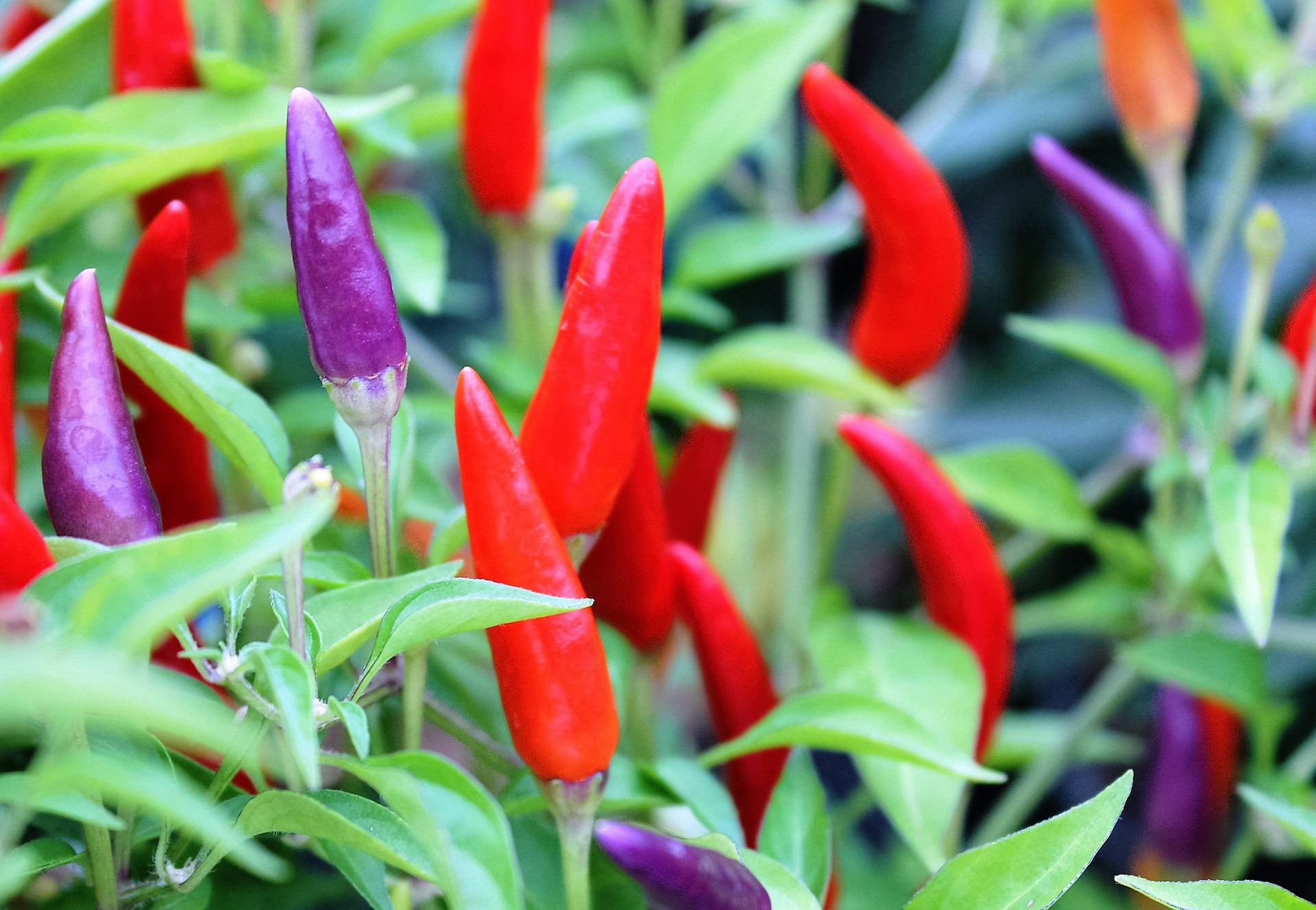Red and Purple Peppers